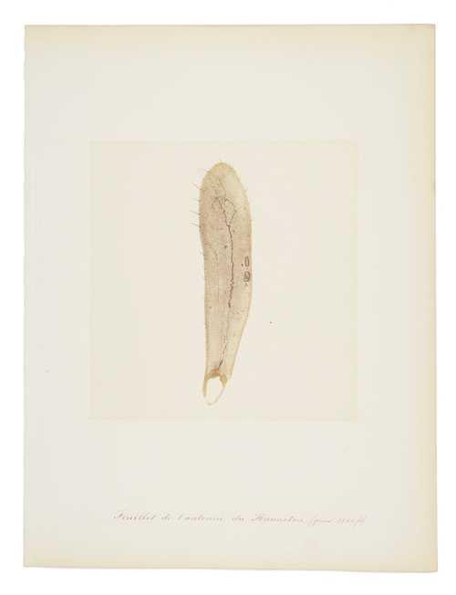 Auguste Bertsch, Micrograph of a beetles feeler (Melolonthinae), albumen print, 1853–1857© as a collection by Jacques Herzog und Pierre de Meuron Kabinett, Basel.